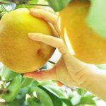 梨狩りで新鮮な果実を味わおう!関東厳選スポット5選