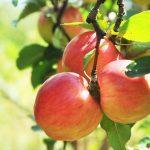 どこのりんご狩りへ行く!?長野県厳選のおすすめスポット3選