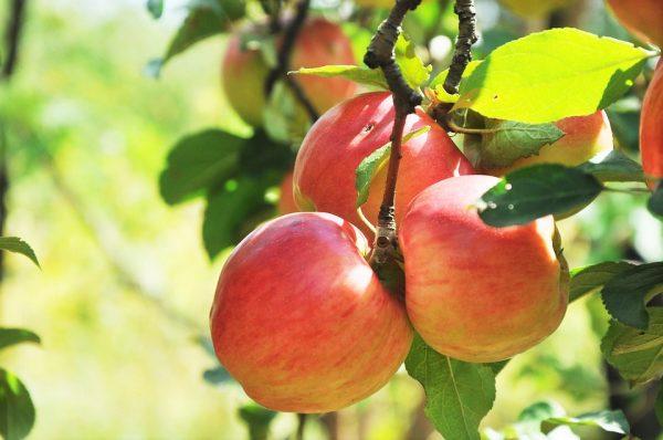 りんご狩りはどこへ行く!?長野県厳選のおすすめスポット3選