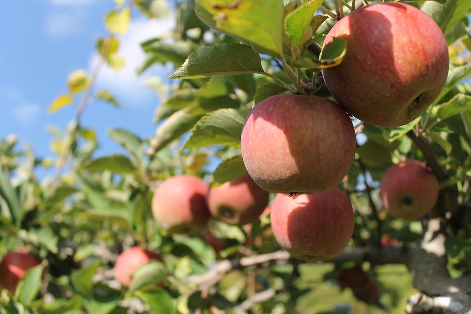 apples-1214797_960_720