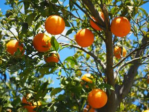 みかん狩りで新鮮な果実を味わおう!静岡県厳選スポット3選