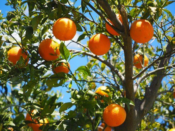 みかん狩りで新鮮な果実を味わおう!静岡県厳選おすすめスポット3選