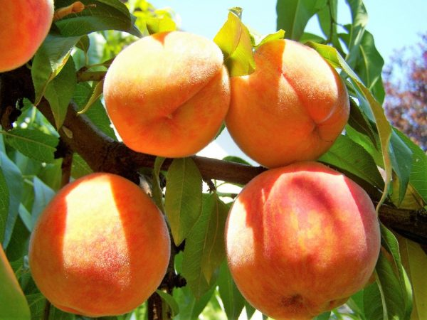 新食感の桃を味わえる!?甲信越エリアのオススメ桃狩りスポット3選