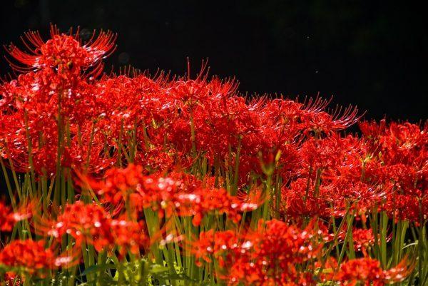 彼岸花の時期はいつ?彼岸花の名所や花言葉に込められた意味とは?