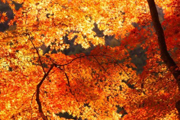 月の石もみじ公園:自然豊かな紅葉のライトアップ/埼玉県
