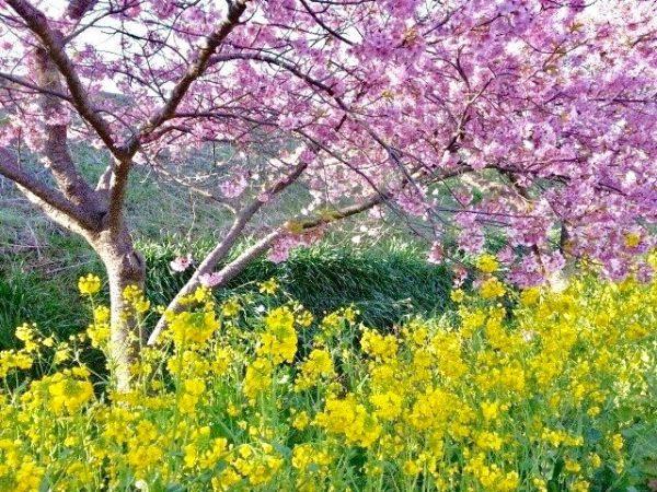 河津桜まつりへ行こう!河津桜の見ごろ時期やアクセス情報のまとめ