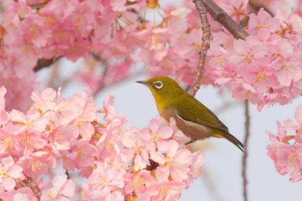 河津桜の見頃とは?