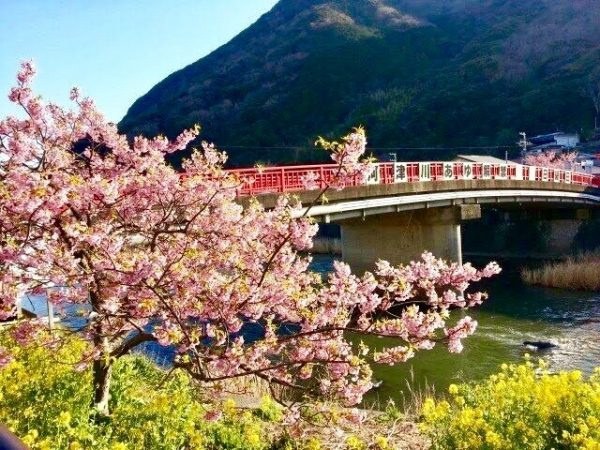 河津桜まつりへ行こう!河津桜の見ごろ時期やアクセス情報