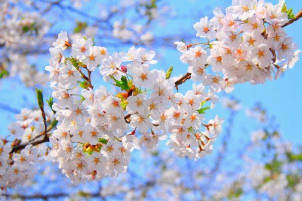 自然交配や咲き方により名付けられた桜