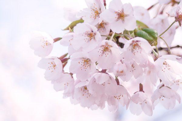 桜の開花時期とは?桜の分類と種類についてのまとめ