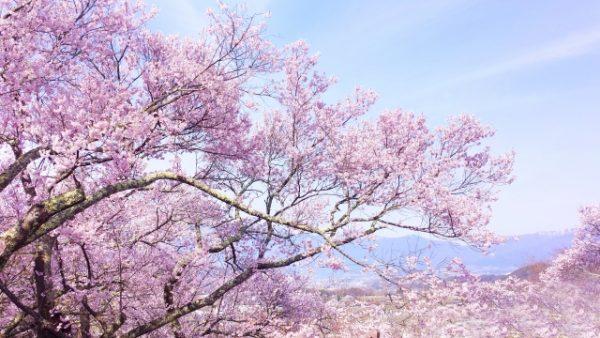 桜の開花時期とは?桜の分類と種類について