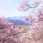 日本の代表的な桜の種類と品種とは?