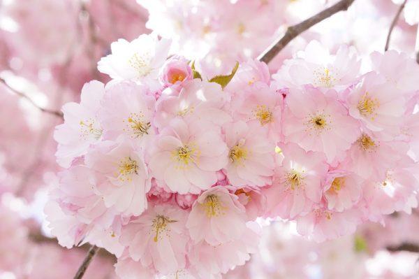 桜の分類と種類