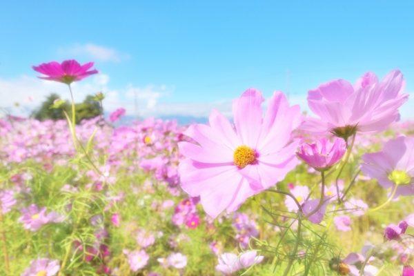 コスモスはどんな花!?コスモスの種類と色別の花言葉の意味!
