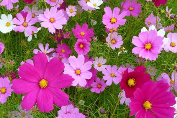 コスモスはどんな花なの?
