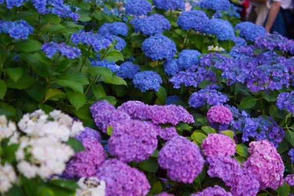 アジサイはどんな花!?アジサイの色が変わる理由と花言葉の意味!