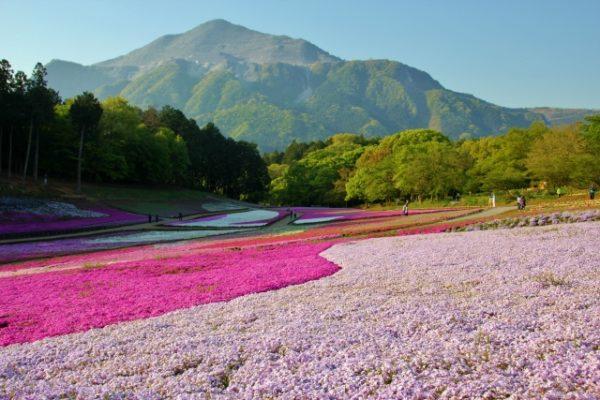 芝桜の丘 羊山公園/埼玉県