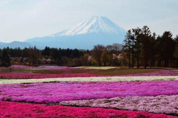 富士芝桜まつり/山梨県