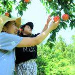 新食感の桃を味わえる時期は?山梨県でおすすめの桃狩りスポット3選